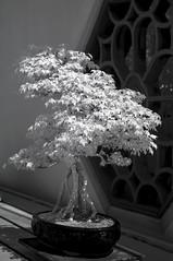 DSC_3873s (An Xiao) Tags: arboretum bonsai penjing