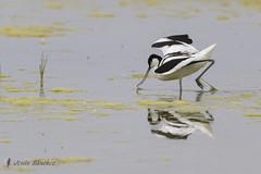 Avoceta comn (Recurvirostra avosetta) (jsnchezyage) Tags: naturaleza bird fauna ngc birding ave recurvirostraavosetta avocetacomn