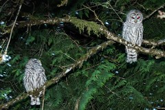 Backyard Barred Owls (1 of 1) (DavidGuscottPhotography) Tags: red