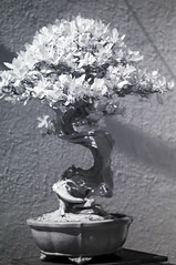DSC_3895s (An Xiao) Tags: arboretum bonsai penjing