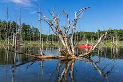 Laricina Uprooted (Brett Whaley) Tags: minnesota kayak july swamp tamarack 2016 larixlaricina uncasdunessna