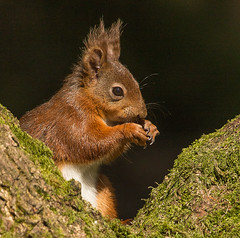 Red Squirrell (Trojan Wonder) Tags: north yorkshire sciurusvulgaris redsquirrel tree mammal feeding outside