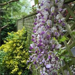 Wisteria (fjordaan) Tags: flower macro london garden wisteria 2016