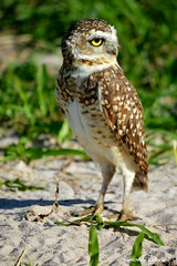 A Coruja Buraqueira. (simonekehrle) Tags: nikon natureza owl corujas