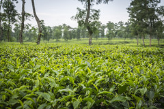Srimangal-6127 (BohemianTraveler) Tags: asia tea bangladesh srimangal srimongol sreemangal