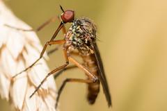 Insekt (michimulder83) Tags: macro canon eos 100mm tokina 100 insekt insekten kenko 14x 70d telekonverter