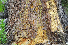 Insect work, old tree by the trail (V. C. Wald) Tags: yellowstonenationalpark uppergeyserbasin biscuitbasin mysticfalls littlefireholeriver mysticfallsoverlook
