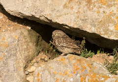 Little Owl (chitsngiggles) Tags: britishwildlife portlandbill birds wildlife nature littleowl owl