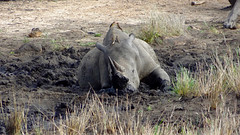 Endangered Black Rhino With Red-Billed Oxpeckers on Back Wallowing in Mud, Kruger National Park, South Africa (dannymfoster) Tags: africa bird animal southafrica nationalpark rhino blackrhino krugernationalpark kruger oxpecker redbilledoxpecker