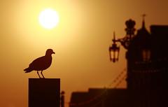 Herring Gull Sitting on a Phone Box (Daniel Trim) Tags: sunset sea evening pier brighton gull herring larus argentatus