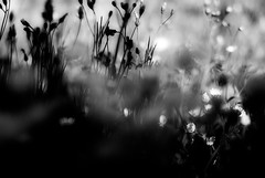 battleForTheSun (niK10d) Tags: flowers light daisies contrast dof chess battle placebo pentaxk10 f50mmf14