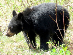 Year old cub ~ 2 (diffuse) Tags: bear spring eating may blackbear 2013 13may09 barkervillehighway