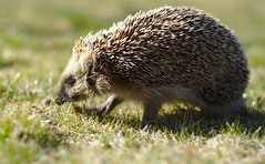 Hedgehog (krissen) Tags: cute grass closeup dof running hedgehog spikes spiny igelkott erinaceinae