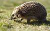 Hedgehog (krissen) Tags: cute grass closeup dof running hedgehog spikes spiny igelkott erinaceinae