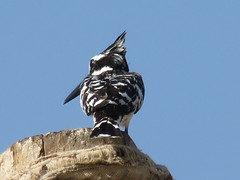 Kingfishers (Alcedinidae) Pied Kingfisher (Ceryle rudis) صياد السمك الأبقع أو كريللا (WhyCallSarah) Tags: white black canon egypt nile pied alcedinidae ceryle kingfishers صياد rudis أو sx40 السمك graufischer الأبقع كريللا
