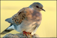 Rola-brava,European Turtle-dove (Streptopelia turtur) (Jos Diogo 58) Tags: