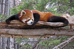 Life is Good (njchow82) Tags: nature animal wildlife redpanda calgaryzoo animaladdiction thewildlife worldofanimals nancychow