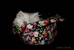 The cat in the hat (Siobhan Bickerdike) Tags: hat animal cat persian kitten peekaboo magic odc animalmagic ansh scavenger12