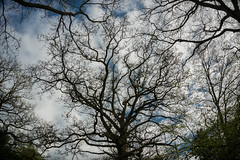 Above (maistora) Tags: trees branches sky clouds heaven upward up above pov maistora berkshire england britain uk thamesvalley tree bare gnarly spring springtime light shadow silhouette contrejour backlit backlight nature woods forest outdoor outdoors interweave life sony nex 5r 1650 1650mm zoom wide wideangle day cloudy