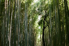 Arashiyama, bamboos, a famous scene of the movie: Memories of a Geisha (tinanthony) Tags: contax 200 g1 planar g45 colorplus