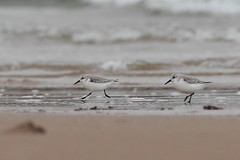 Sanderlings / Bcasseau sanderling (La Guiche) Tags: birds canon northernireland northernirelandbirds