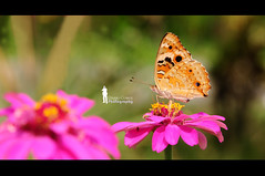Butterfly on Red Zinnia (Ringgo Gomez) Tags: 1001nights nikon105mm macroextreme macrolicious nikond90 flickraward malaysianphotographers elitephotography macromarvels macrolife sarawakborneo nikond90club 1001nightsmagiccity flickraward5 mygearandme