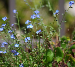 Forget-Me-Nots (DRodino) Tags: blue summer flower green grass garden leaf spring stem periwinkle forgetmenot springtime forgetmenots