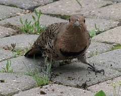curious flicker (withrow) Tags: birds sidewalk flicker