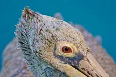 Spot-Billed Pellicon (MohdShareef) Tags: pelican pellicon spotbilledpellicon