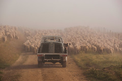 The muster (borealnz) Tags: road morning travel newzealand dog mist fog rural truck fence moving track sheep farm farming sheepdog flock mob nz get
