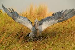 Shoebill (zimbart) Tags: africa uganda mabambaswamp birds balaeniceps balaenicepsrex shoebill avianexcellence pelecaniformes aves vertebrata fauna balaenicipitidae