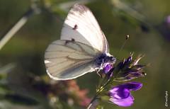 Papillon 14813-10 (FranSight) Tags: france flower macro fleurs canon bug insect 100mm papillon ladybug buterfly abeille insecte criquet eos450d hant talange fransight franimage