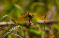 IMG_3129 (snish) Tags: forest canon dragonfly wildlife hyderabad 60d narsapur canonefs18135mmf3556is
