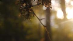 P1220172 (pasekaa) Tags: lite fir spruce    pasekaa