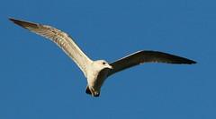 F446 Skeleton wing juvenile Seagull, KAMOME in Japanese (Hiro sensei photos) Tags: birds backyard 1dx ef400mmf56