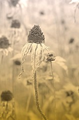 Death and Dying (floralgal) Tags: flowers nature garden florals cornflowers dyingflowers deathanddying