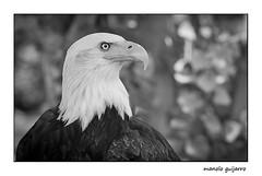 bald eagle / aguila calva (manolo guijarro) Tags: nikon eagle baldeagle bald manolo aguila rapaz guijarro calva aguilacalva d700