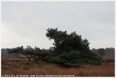 Gasterse Duinen | Dunes near Gasteren (Dit is Suzanne) Tags: autumn netherlands walk heather dunes herfst nederland pieterpad moor duinen heide drenthe wandeling gasteren   views200 img1258 etappe4  img1261 onderweginnederland ontheroadinthenetherlands ditissuzanne canoneos40d  gasterseduinen    20102013 zuidlarenrolde sigma18250mm13563hsm