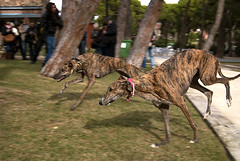 Casi pillados/Almost caught (Vonher) Tags: greyhound dogs perros greyhounds d60 galgo galgos nikond60