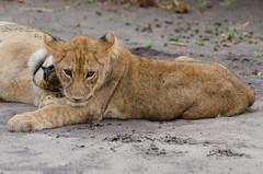 Lwen / Lions (brainstorm1984) Tags: wildlife lion lions botswana lioness lwe lwen pantheraleo lwin savuti chobenationalpark savutimarsh savute botsuana nordwest savutichannel wildfelinephotography desertdeltasafaris savutesafarilodge savutegamereserve savutigamereserve elangeniafricanadventures