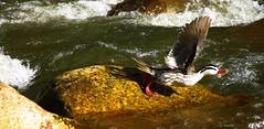 Torrent Duck, Merganetta armata, National park chingaza (OSWALDO CORTES -Bogota Birding and Birdwatching Co) Tags: en its de duck all el pato hoy todo su np today torrent splendor the esplendor torrentes chingaza