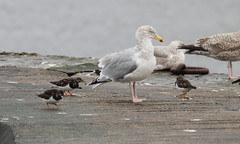 Don't you dare peck my tail. (northernkite) Tags: jetty gulls waders turnstone