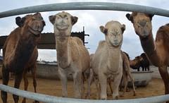 (TaMiMi Q8) Tags: sahara animal desert camel kuwait camels q8