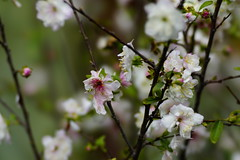 Plum (ddsnet) Tags: camera plant flower lens sony plum resolution   ilc     7r interchangeable mirrorless interchangeablelenscamera 7r ilce7r