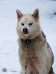 Copain de rando (photosenvrac) Tags: portrait chien photo husky traineau polaire finlande thierryduchamp
