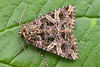 2166-DSCN6331 The Campion (Hadena rivularis) (ajmatthehiddenhouse) Tags: moth kent uk garden stmargaretsatcliffe 2013 hadeninae noctuidae thecampion campion hadena rivularis hadenarivularis