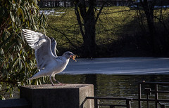 Vigeland's park Oslo (grandoxz) Tags: bird oslo norway feed vigelands frognerpark
