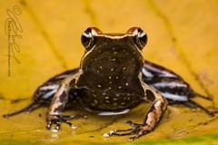 Mantidactylus charlotteae (Rob Schell Photography) Tags: africa island amphibian frog madagascar nosymangabe anuran mantellinae mantellidae iucnleastconcern chonomantis mantidactyluscharlotteae