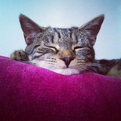 Kitty Sleeping (Blue Swan Photography) Tags: pink brown cute beautiful cat photography kitten feline sleep tabby kitty ears whiskers instagram