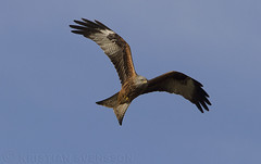 Red Kite (Milvus milvus) (macronyx) Tags: kite bird nature birds wildlife birding aves glad raptor birdwatching raptors birdsofprey birdofprey vogel oiseaux redkite fåglar milvus milvusmilvus rödglada